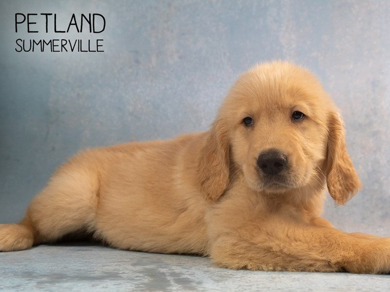 Golden Retriever-Male-Golden-2378737-Petland Summerville