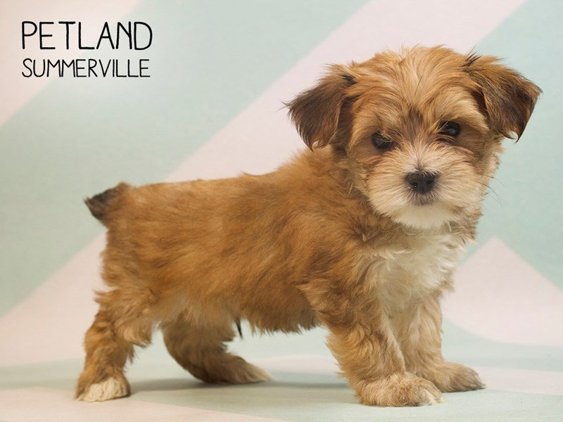 Morkie Puppies Breed Info - Petland Summerville South Carolina