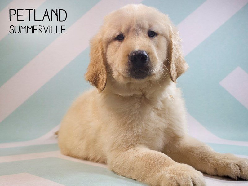 Golden Retriever-Male-Golden-2391136-Petland Summerville