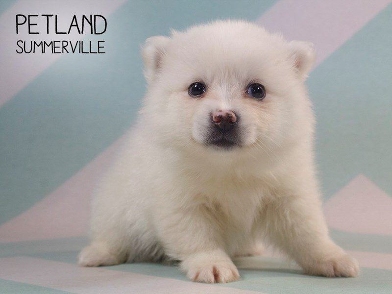 Pomsky-Female-White-2396354-Petland Summerville