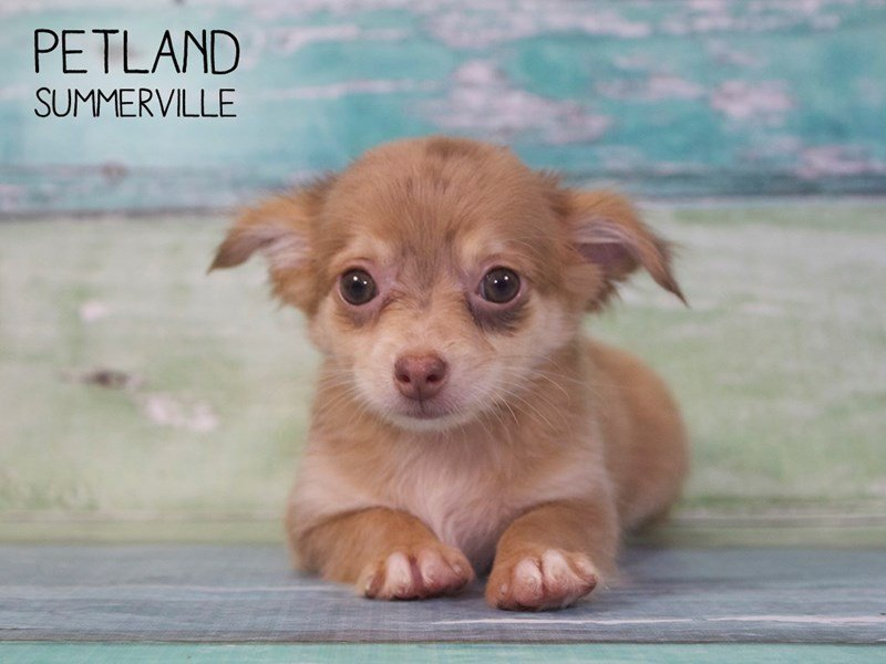 Chihuahua-Male-CHOCOLATE MERLE-2402489-Petland Summerville
