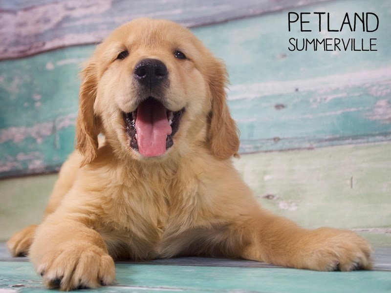 Golden Retriever-Male-Golden-2402503-Petland Summerville
