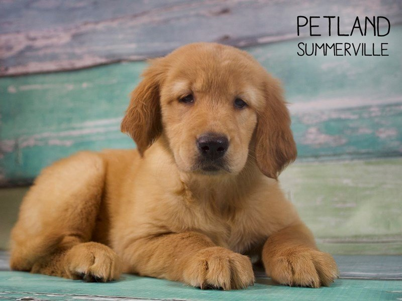Golden Retriever-Female-Golden-2402507-Petland Summerville
