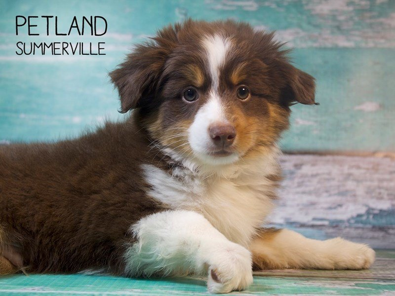Australian Shepherd-Male-Red Black / White-2411373-Petland Summerville