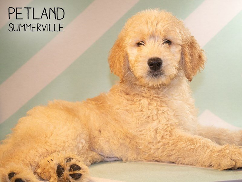 Goldendoodle-Female-Golden-2373145-Petland Summerville