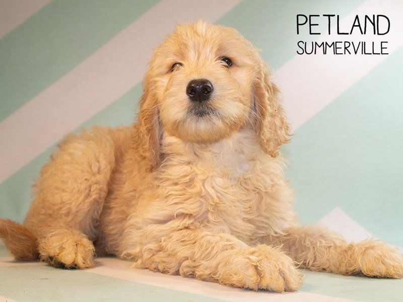 Goldendoodle-Female-Golden-2373146-Petland Summerville