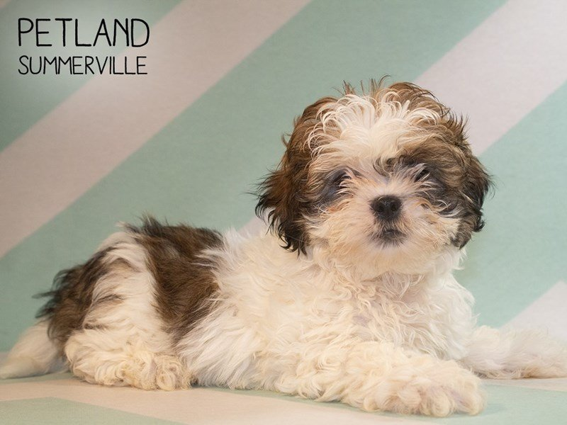 Shih Tzu-Male-brown wh-2373104-Petland Summerville
