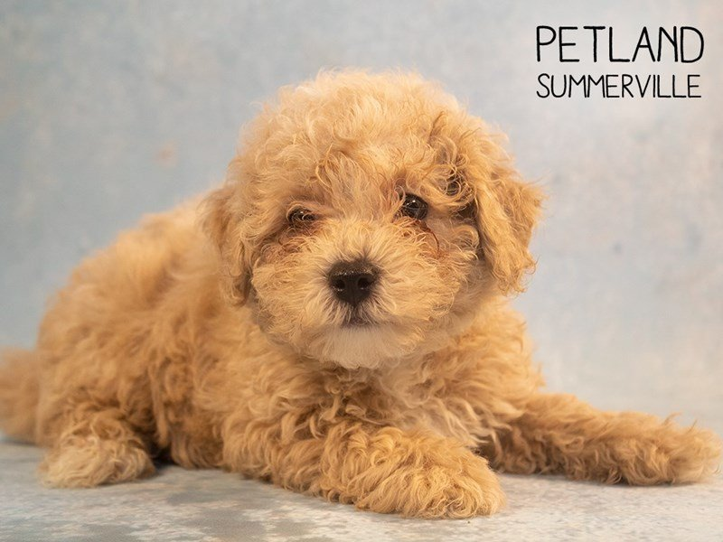 Poodle-Male-Red-2378895-Petland Summerville
