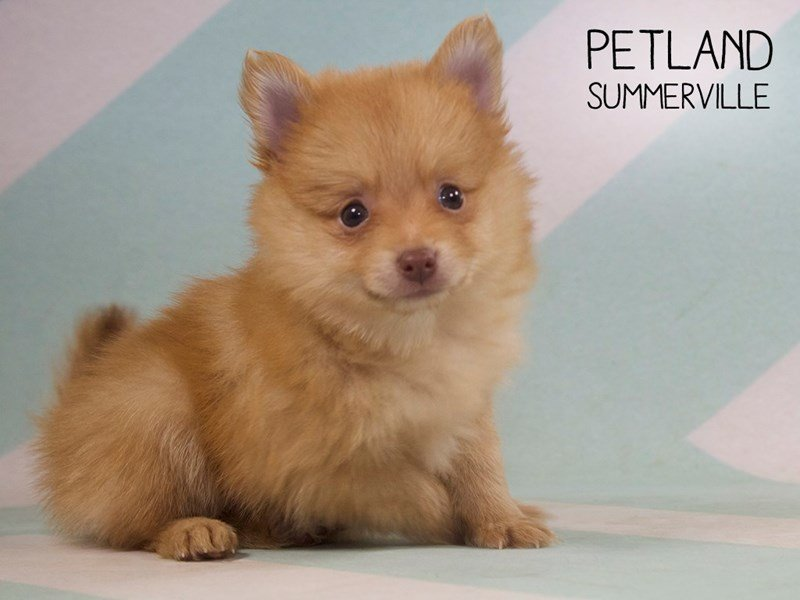 Pomeranian-Female-SABLE-2384537-Petland Summerville