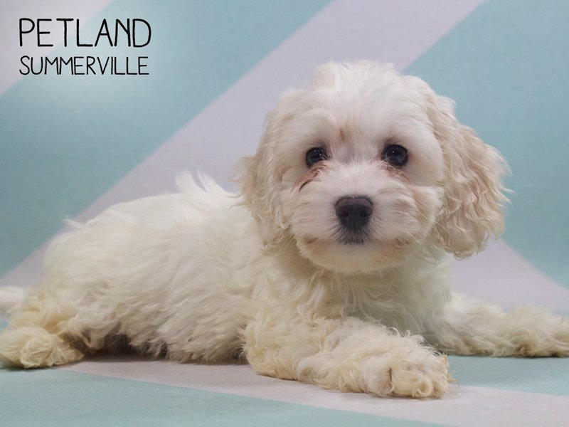 Lhasa Apso-Male-CREAM WHITE-2391057-Petland Summerville