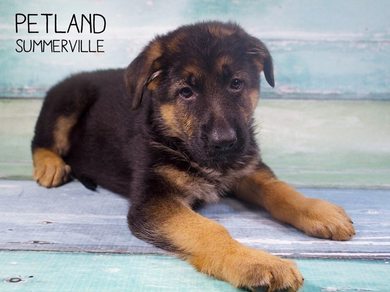 German Shepherd-Female-Black and Tan-2414550-Petland Summerville