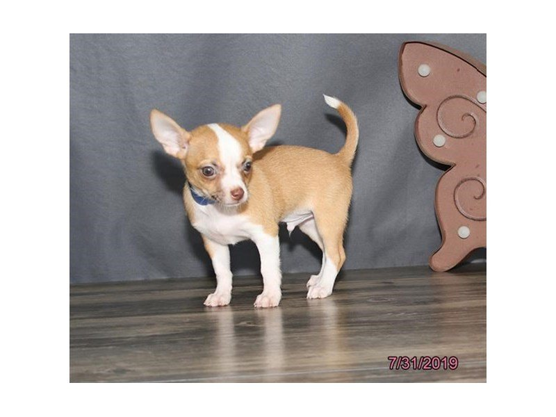 Chihuahua-Male-Red Fawn-2421767-Petland Summerville