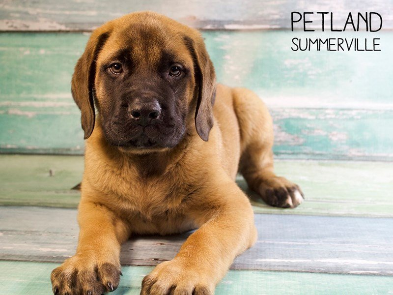 English Mastiff-Male-Fawn-2428869-Petland Summerville