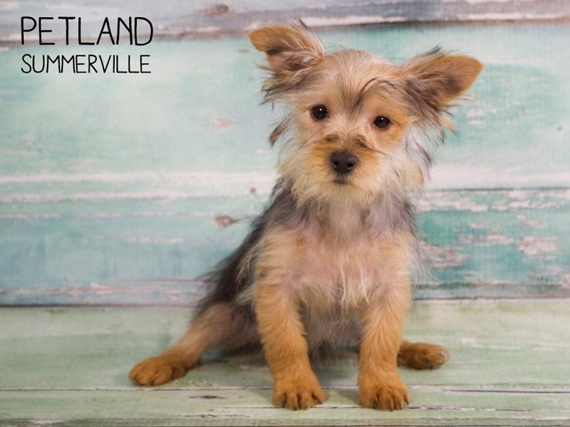 Yorkie Puppies For Sale | Yorkshire Terrier Info | Petland