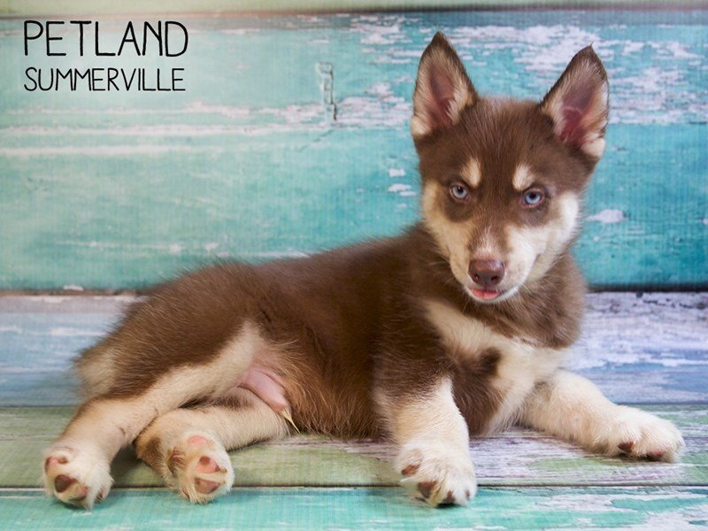 Pomsky-Male-Red-2433512-Petland Summerville