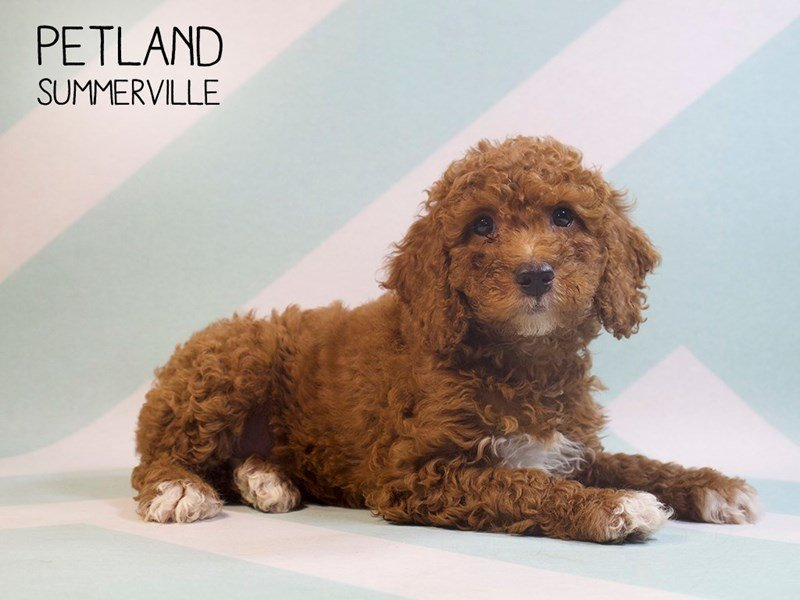 Miniature Poodle-Male-RED WHITE-2390981-Petland Summerville
