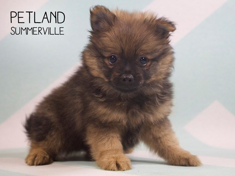 Pomeranian-Male-SABLE-2391052-Petland Summerville
