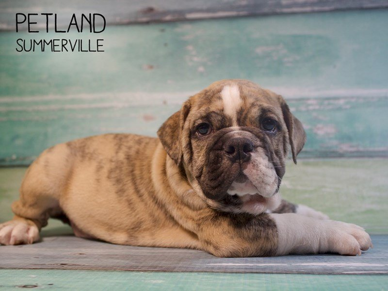 English Bulldog-Male-brindle-2414874-Petland Summerville
