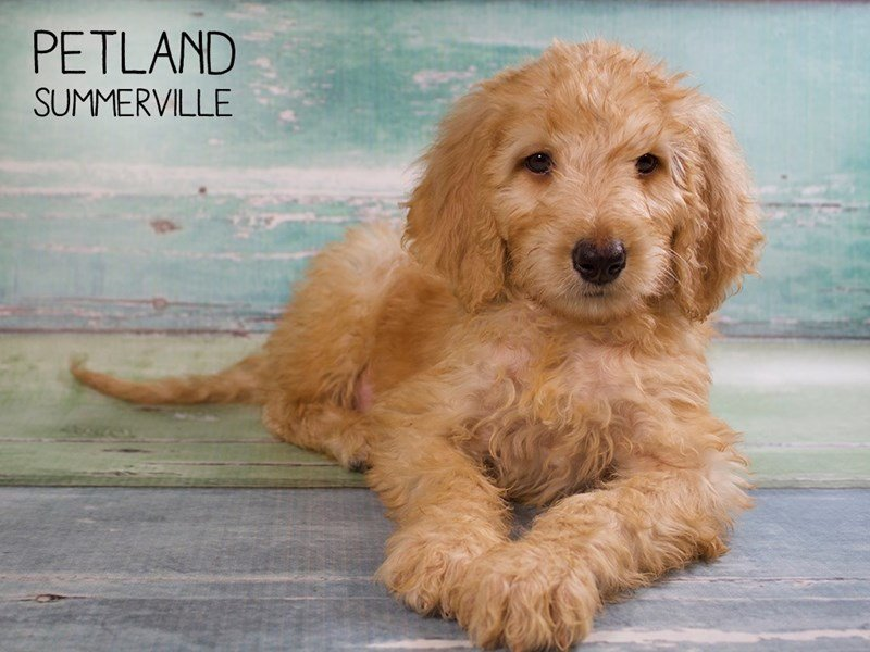 Goldendoodle-Male-Golden-2428901-Petland Summerville