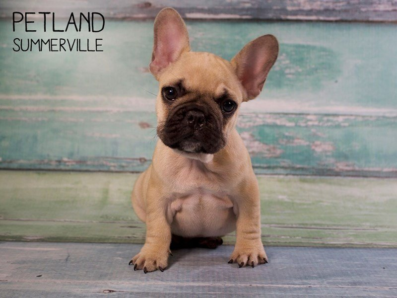 French Bulldog-Male-Fawn with Black Mask-2424328-Petland Summerville