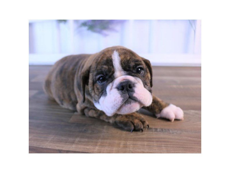 English Bulldog-Female-Brindle-2440252-Petland Summerville