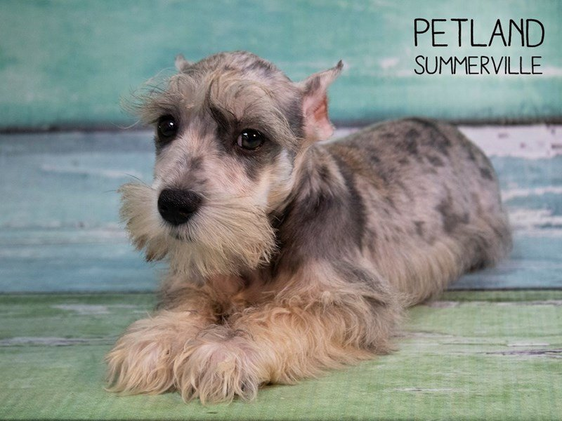 Miniature Schnauzer-DOG-Male-BLUE MERLE-2457819-Petland Summerville