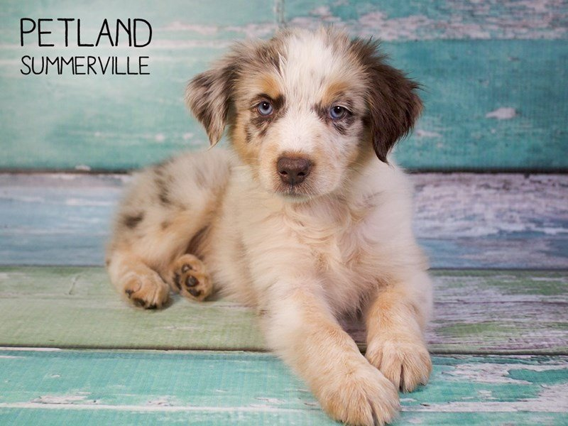 Australian Shepherd-DOG-Female-Red Merle-2433190-Petland Summerville