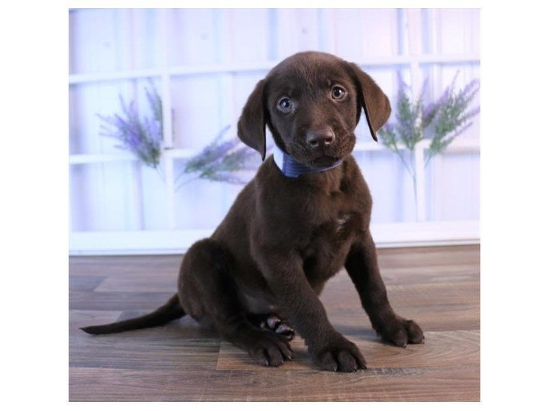 Labrador Retriever-Male-Chocolate-2440169-Petland Summerville