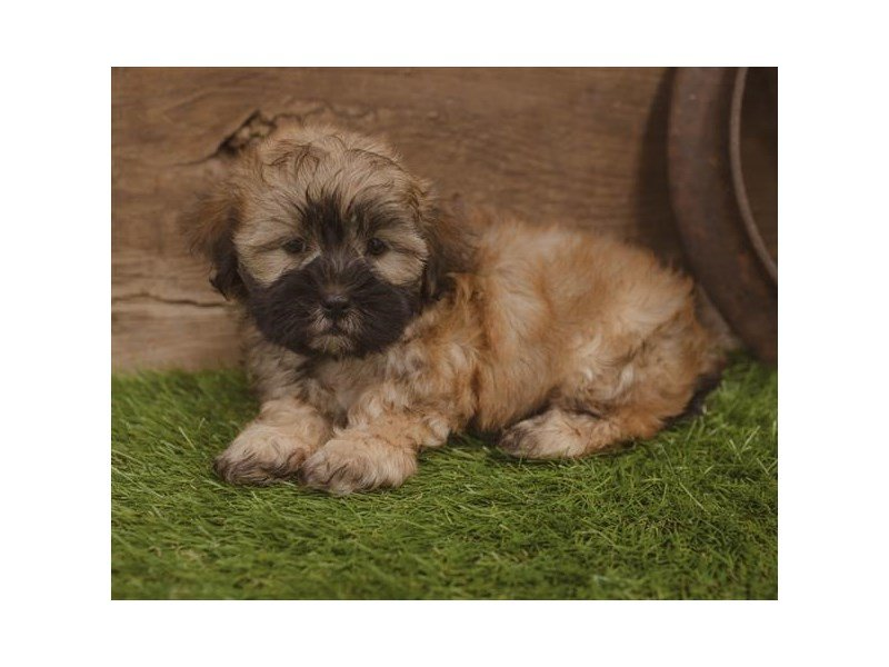 Teddy Bear-DOG-Male-Gold-2440243-Petland Summerville