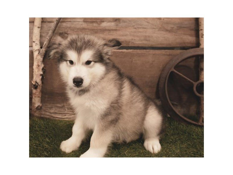Alaskan Malamute-Male-Sable / White-2479951-Petland Summerville