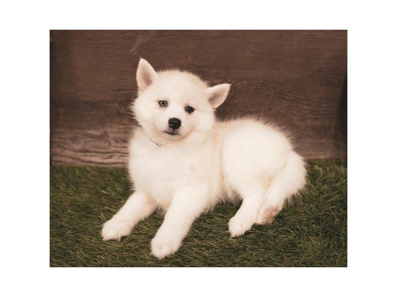 Pomsky-Female-Cream-2455289-Petland Summerville