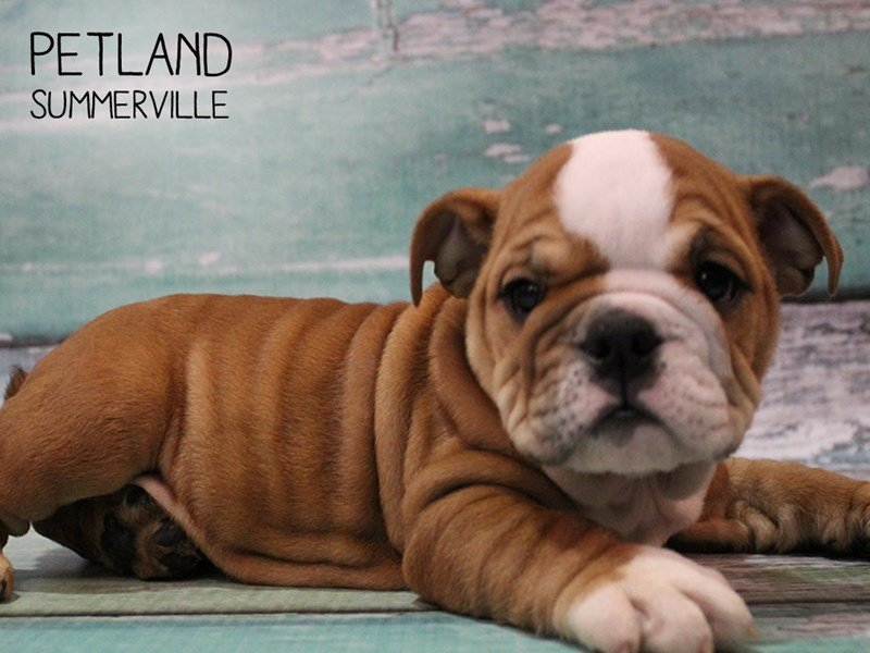 English Bulldog-Female-Red-2467181-Petland Summerville