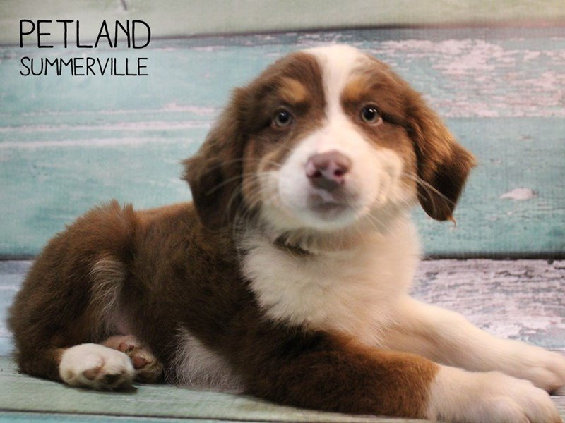 Australian Shepherd-Female-Red-2467119-Petland Summerville