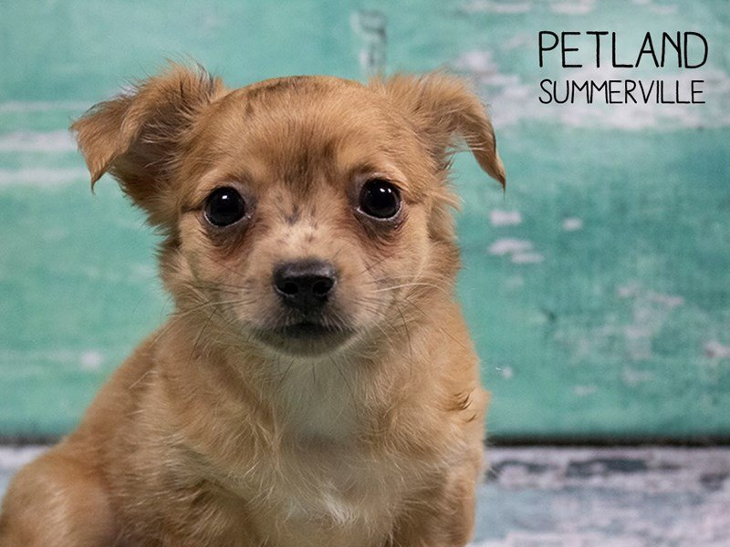 Chihuahua-Male-Red Merle-2473667-Petland Summerville