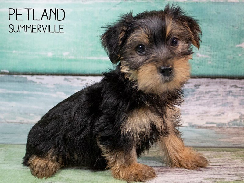 Yorkshire Terrier-DOG-Male-BLK TAN-2503350-Petland Summerville