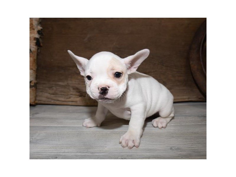 French Bulldog-Male-Cream-2527259-Petland Summerville