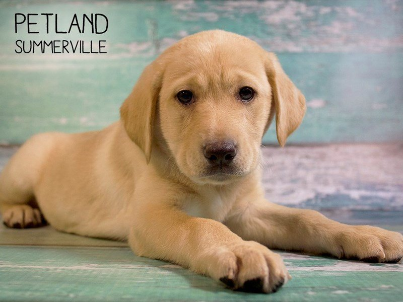 Labrador Retriever-Female-Yellow-2509729-Petland Summerville
