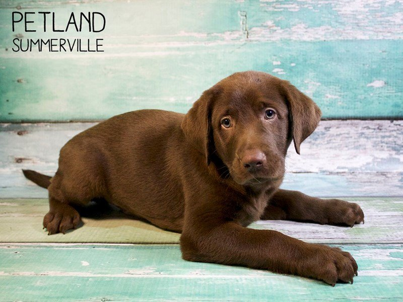 Labrador Retriever-Male-Chcocolate-2530245-Petland Summerville