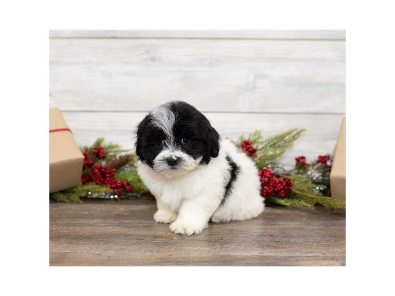 Teddy Bear-Male-Black / White-2551302-Petland Summerville