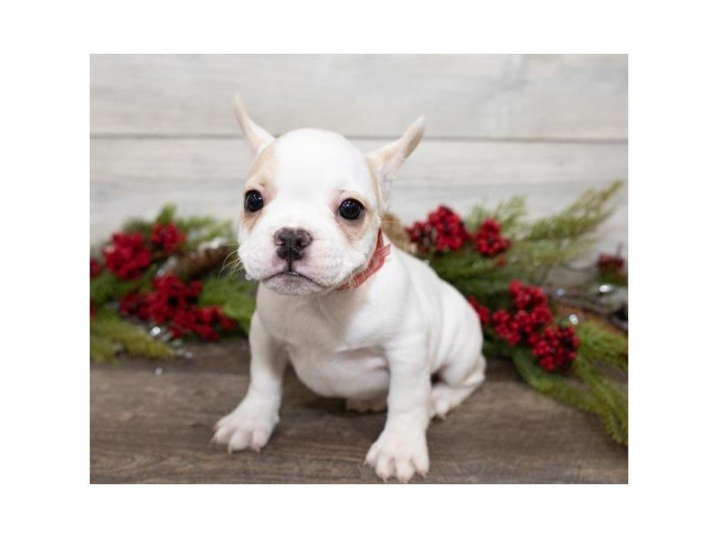 French Bulldog-Female-Cream-2558220-Petland Summerville