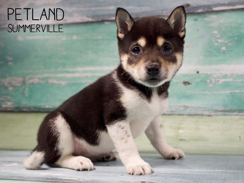 Shiba Inu-Female-Black White / Tan-2558207-Petland Summerville