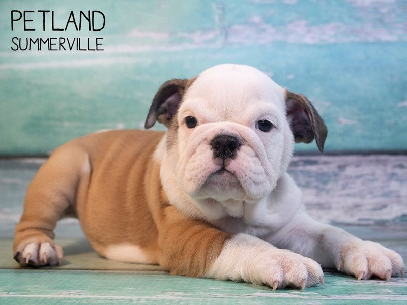 English Bulldog-Female-Red-2564896-Petland Summerville