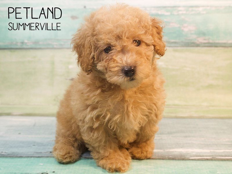 Miniature Poodle-DOG-Female-RED-2576927-Petland Summerville