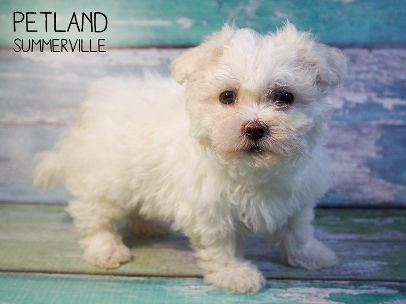 Teddy Bear-Female-CREAM WHITE-2588255-Petland Summerville