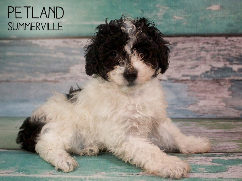 Miniature Poodle-Male-BLK WHITE-2582326-Petland Summerville