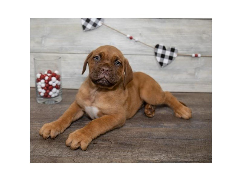 Dogue De Bordeaux-Male-Fawn-2607935-Petland Summerville