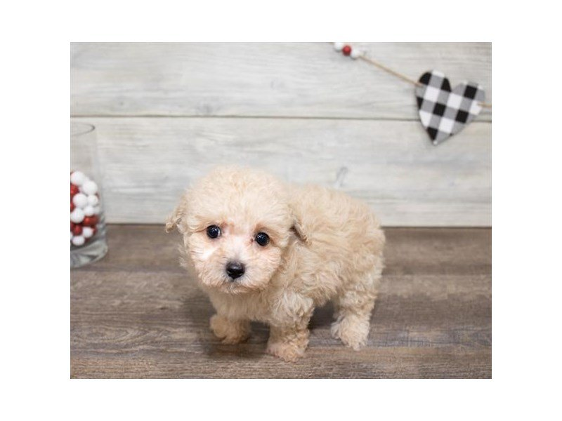 Miniature Poodle-Male-Cream-2614782-Petland Summerville