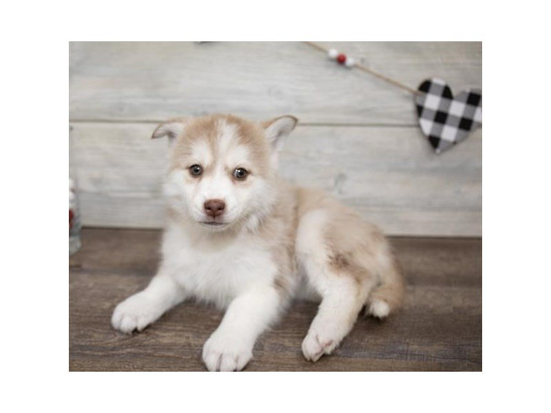 Pomsky-Female-Red / White-2614796-Petland Summerville