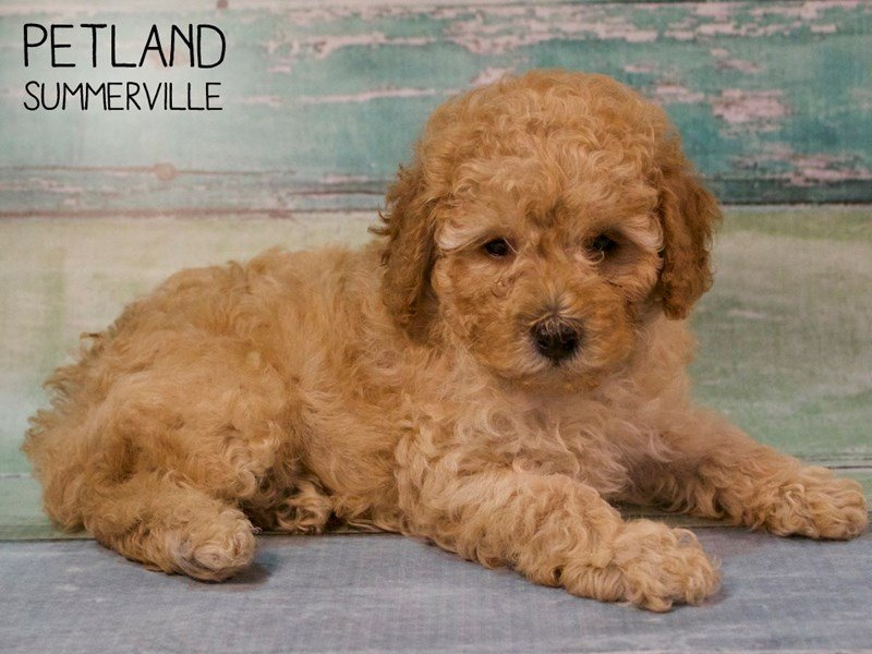 Miniature Poodle-Male-RED-2624729-Petland Summerville