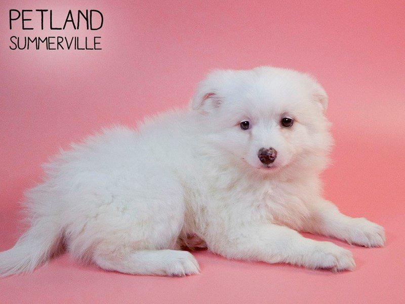 Pomsky-Female-White-2647300-Petland Summerville